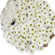 51 chamomile chrysanthemums - flowers and bouquets on 7roz.lviv.ua