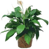 Spathiphyllum (Female happiness) - flowers and bouquets on 7roz.lviv.ua